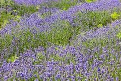 лаванда поля предпосылки Стоковые Изображения RF