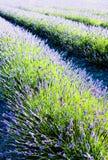 лаванда поля Стоковая Фотография RF