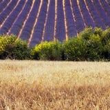 лаванда поля Стоковое Фото