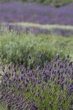лаванда поля Стоковое Изображение