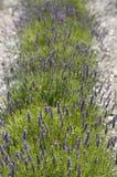 лаванда поля Стоковые Фотографии RF