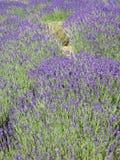 лаванда поля Стоковые Фото