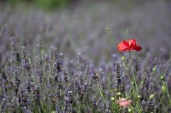лаванда поля Стоковая Фотография