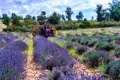 Лаванда Провансали, сбора заводов пурпурной лаванды ароматичных на полях лета в Van de Sault, Воклюз, Франции стоковое фото rf