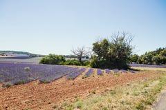 лаванда Провансаль поля стоковые фото