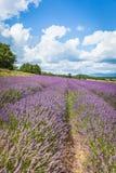 лаванда Провансаль Франции поля стоковые фото