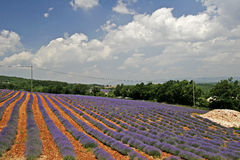 лаванда Провансаль Франции поля Стоковое Изображение RF