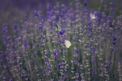 Лаванда с бабочками стоковые изображения rf