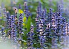Лаванда цветет lavandin, lavandula, живописный, надушенная Провансаль, valensole, гора стоковое изображение rf