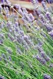 лаванда цветка поля Стоковое Фото