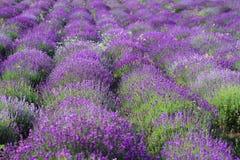 лаванда цветового поля Стоковое Фото