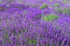 лаванда цветового поля Стоковые Фото