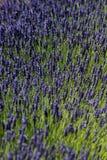 лаванда Стоковые Изображения RF