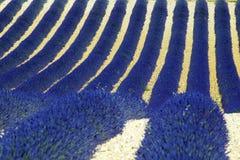 лаванда Стоковая Фотография RF