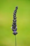 лаванда bush Стоковая Фотография RF