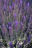 лаванда bush Стоковые Изображения RF