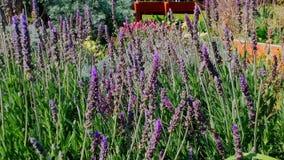 Лаванда bushes крупный план Сады с расцветая лавандой сток-видео