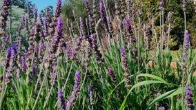 Лаванда bushes крупный план Сады с расцветая лавандой акции видеоматериалы