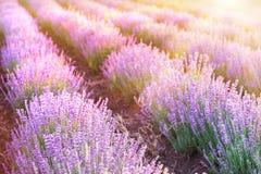 Лаванда bushes крупный план Стоковое Фото