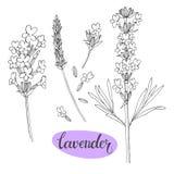 Лаванда Vector иллюстрация, изолированные флористические элементы для дизайна Оконтурите monochrome собрание цветков лаванды на б иллюстрация вектора