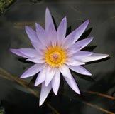 лаванды вода lilly Стоковое Фото