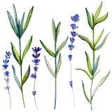 Лаванда акварели цветет, букет нарисованный рукой крася ботаническую иллюстрацию изолированный на белой предпосылке, флористическ стоковые фото