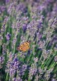 Лаванда бабочки Винтажная ретро версия стиля битника Стоковая Фотография RF