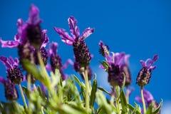 Лаванда бабочки и предпосылка голубого неба Стоковые Изображения RF