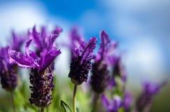 Лаванда бабочки и предпосылка голубого неба Стоковые Фотографии RF