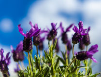 Лаванда бабочки и предпосылка голубого неба Стоковое Фото