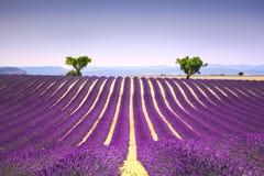 Лаванда и 2 дерева гористых Франция Провансаль стоковая фотография