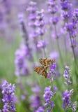 Лаванда и и сопрягая бабочки Стоковые Фотографии RF
