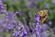 Лаванда и и сопрягая бабочки Стоковое Изображение RF