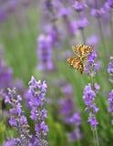 Лаванда и и сопрягая бабочки Стоковая Фотография