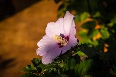 Лаванда и красный цветок гибискуса Стоковое Изображение RF