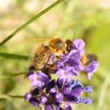 Лаванда пчелы меда опыляя Стоковые Фото