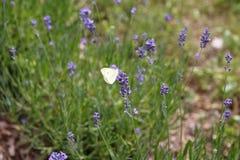 Лаванда с бабочкой, бабочкой капусты, brassicae Pieris Стоковая Фотография