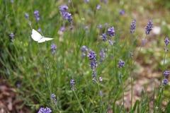 Лаванда с бабочкой, бабочкой капусты, brassicae Pieris Стоковые Изображения