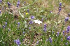 Лаванда с бабочкой, бабочкой капусты, brassicae Pieris Стоковое Изображение RF
