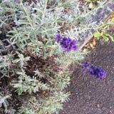 Лаванда с цветениями Стоковая Фотография RF