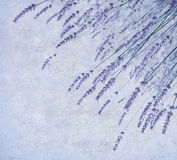 Лаванда цветет граница Стоковые Фото