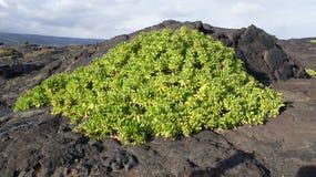 Лава зеленого растения на ` s Мауи, Гаваи,  HaleakalÄ держателя Стоковые Фотографии RF