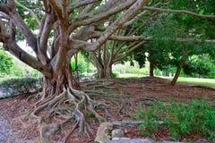 Лавры и их корни Стоковое Фото