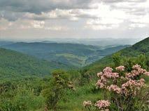 Лавр горы зацветая на парке штата гористых местностей Grayson стоковое фото rf