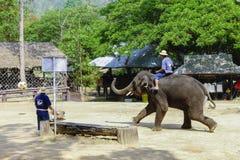 Лагерь слона Maesa, Чиангмай, Таиланд Стоковая Фотография RF
