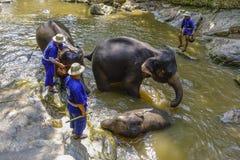 Лагерь слона Maesa, Чиангмай, Таиланд Стоковые Фотографии RF