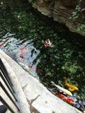 Ладони Gaylord рыб Koi стоковые фотографии rf