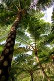 ладони okinawa джунглей Стоковая Фотография RF