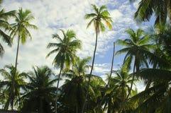 ладонь кокоса стоковые фотографии rf
