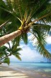 ладонь кокоса Стоковые Изображения